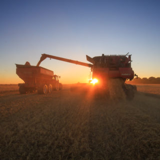 Combine and wagon harvestung barley
